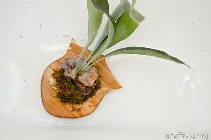 How to Water a Mounted Staghorn Fern