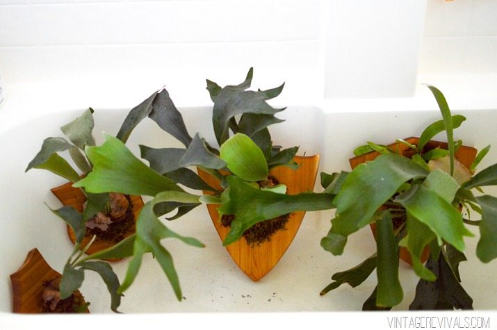 How to Mount and Care For a Staghorn Fern-23