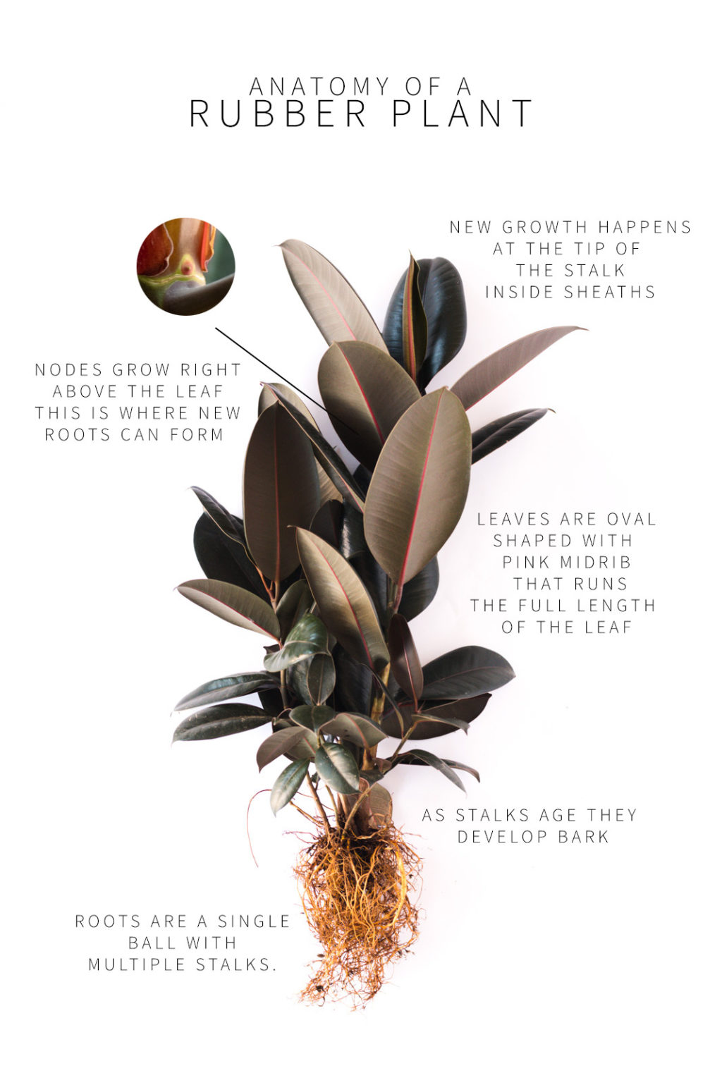 A Complete Guide To Caring For Rubber Plants And Answers To Why Yours Might Be Dying Vintage Revivals