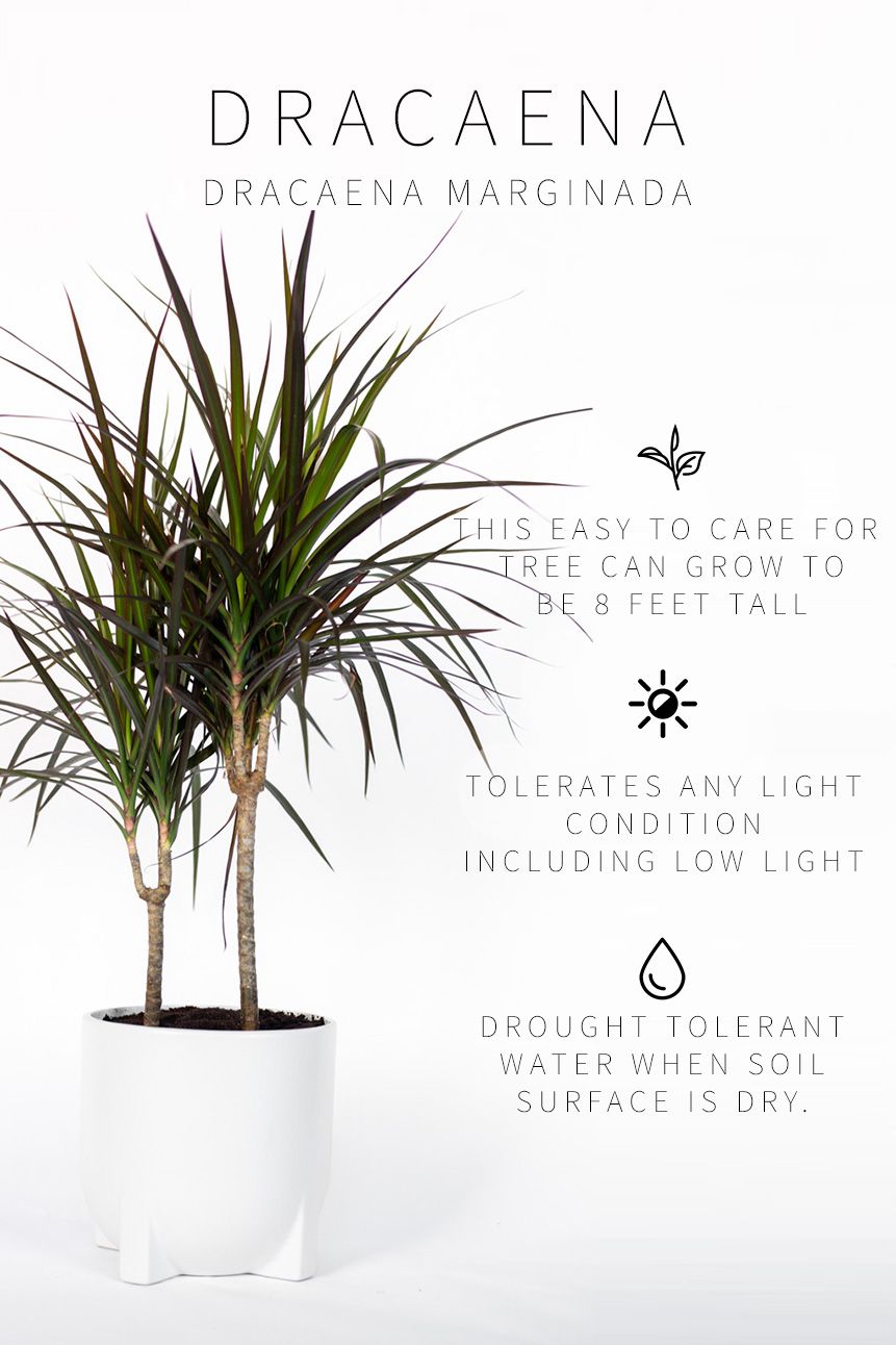 Low Light Indoor Plants Dracaena