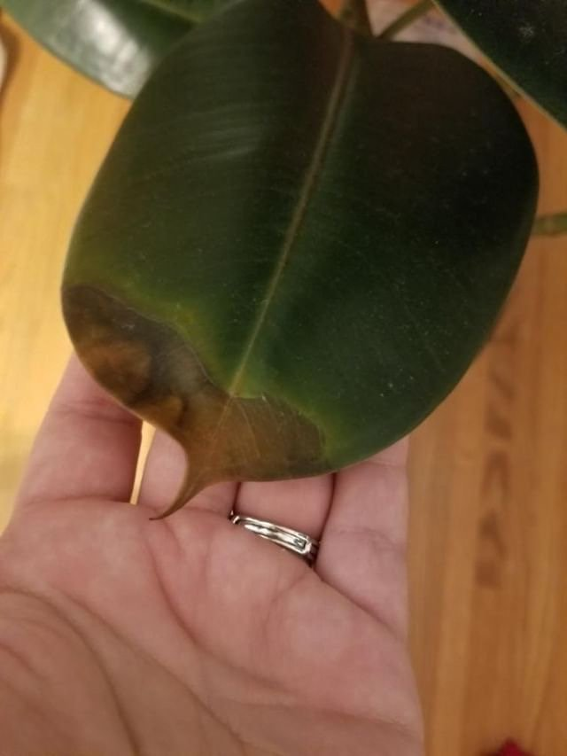 A Complete Guide To Caring For Rubber Plants and Answers to