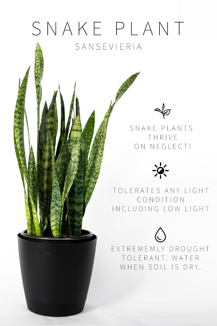 The Complete Guide To Caring For Your House Plants Snake Plant