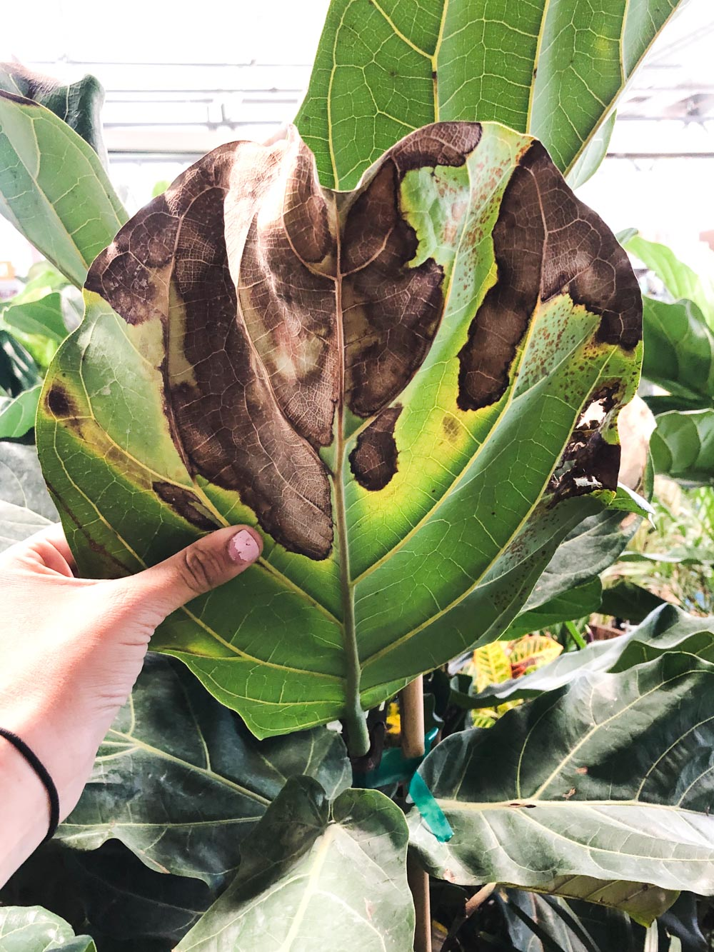The Complete Guide To Caring for A Fiddle Leaf Fig • Vintage